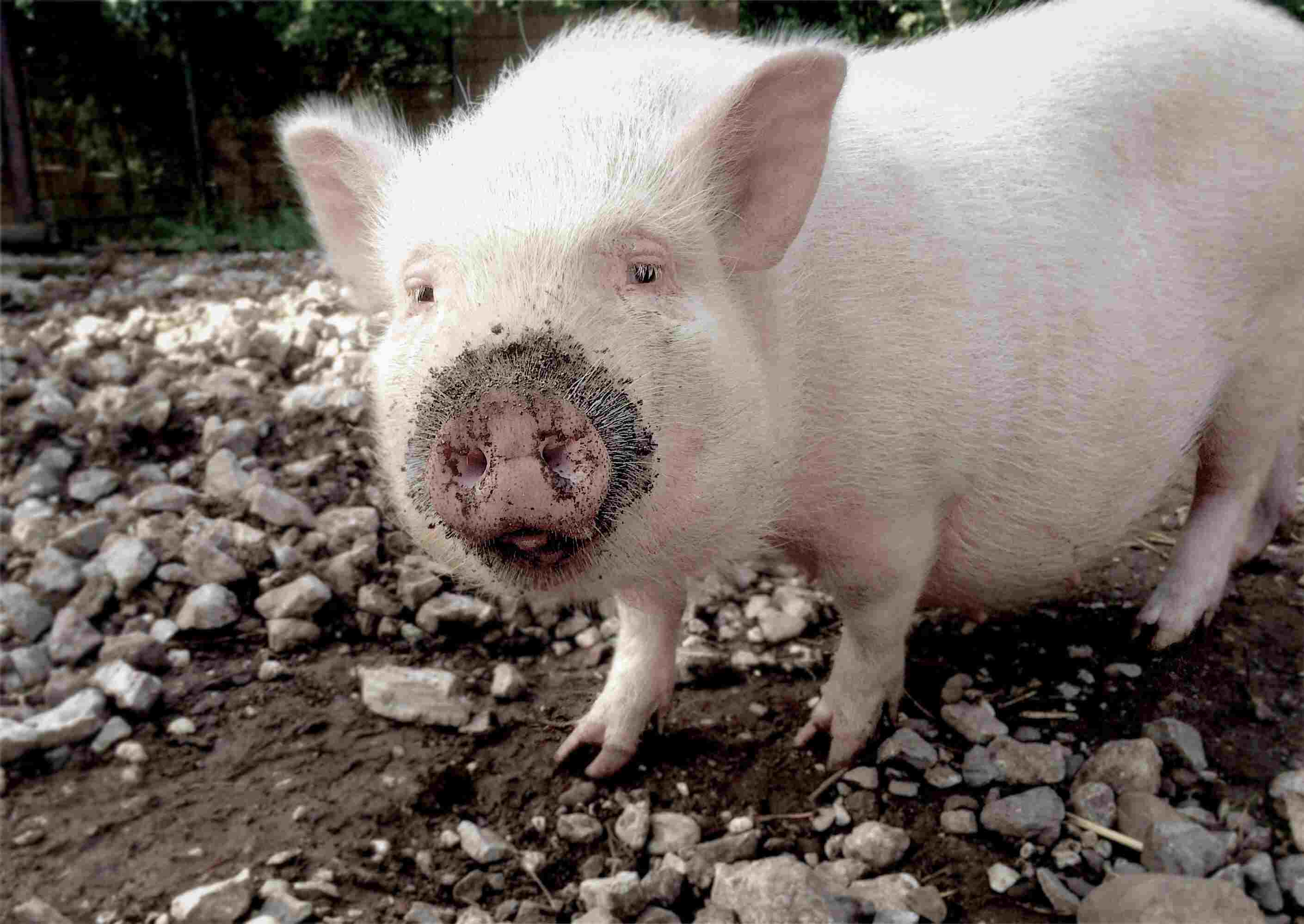 12 Cute Pigs That Will Bring A Smile To Your Face