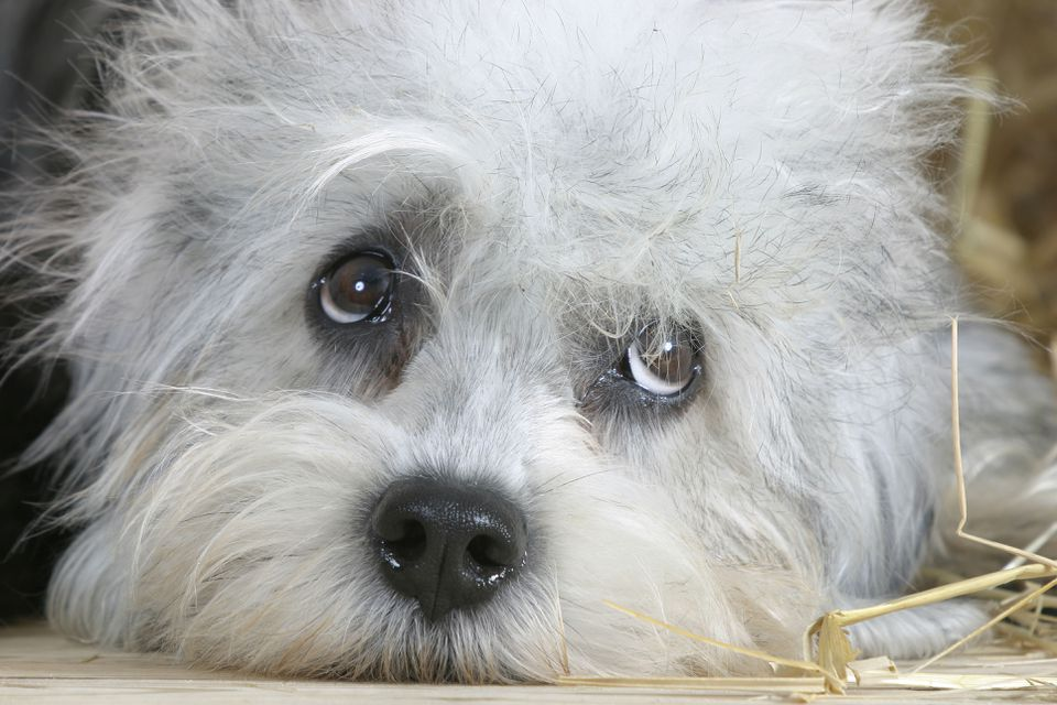 A close-up of a Dandie Dinmont Terrier.