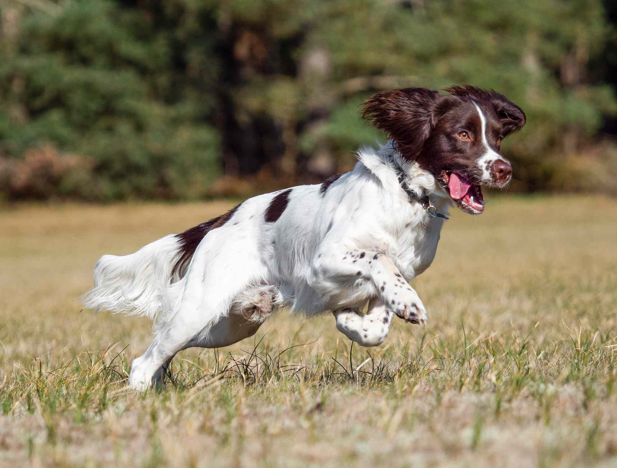 English Springer Spaniel leaping through a field