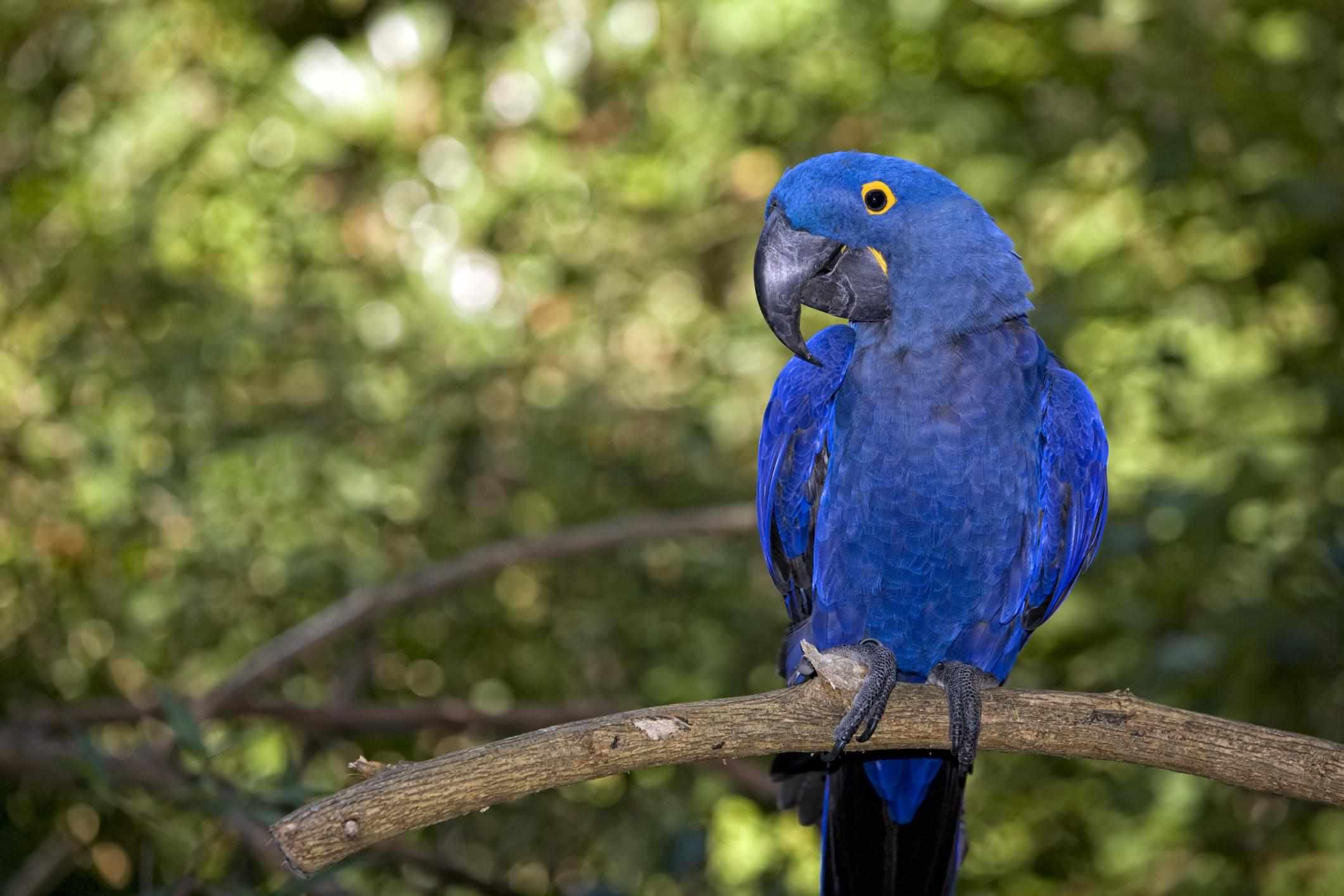 Hyacinth macaw on a branch