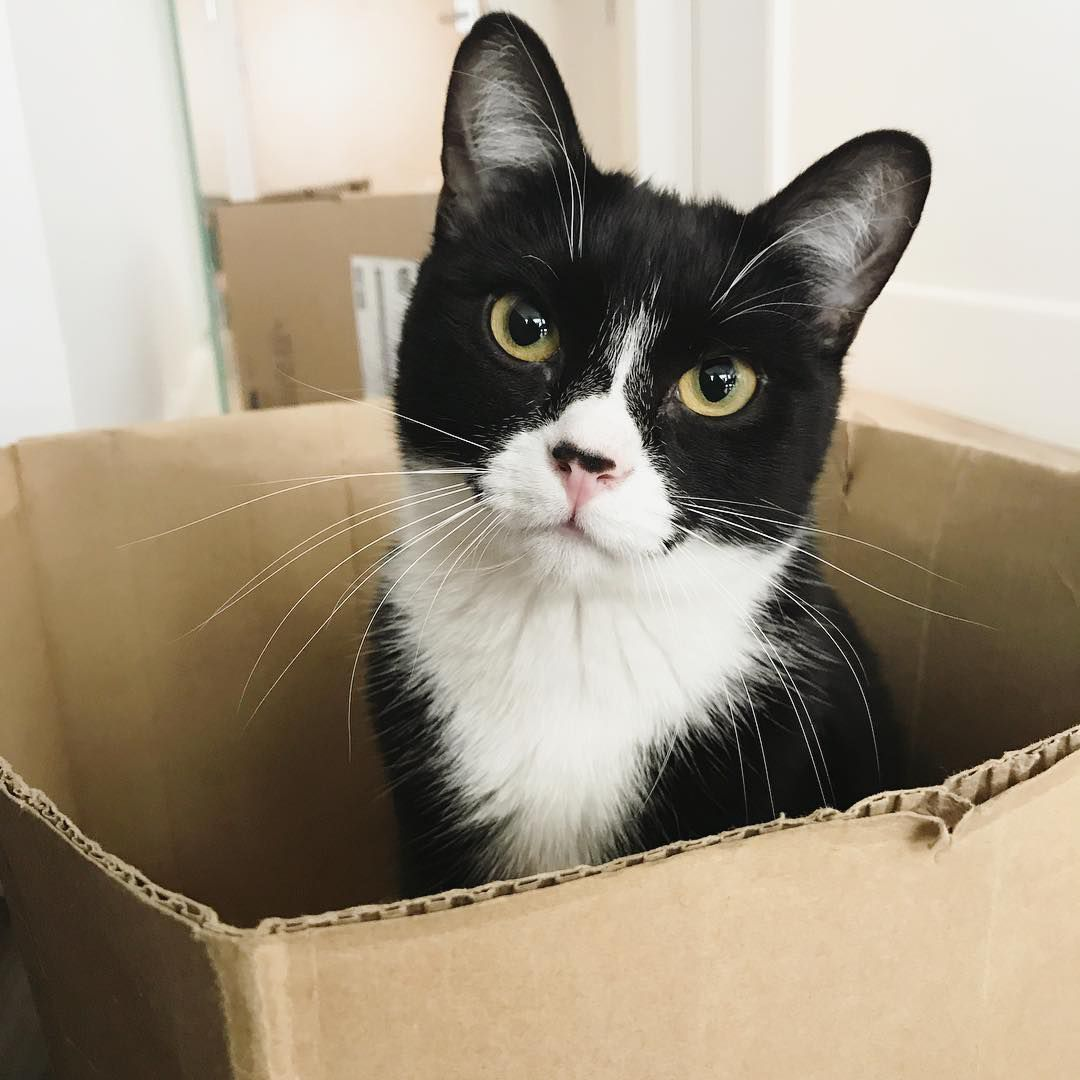 Tuxedo cat poking out of a box