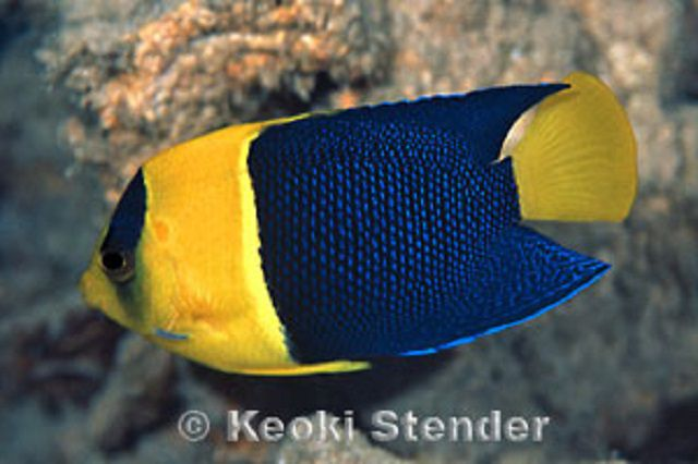 Bicolored Anagelfish (Centropyge bicolor)
