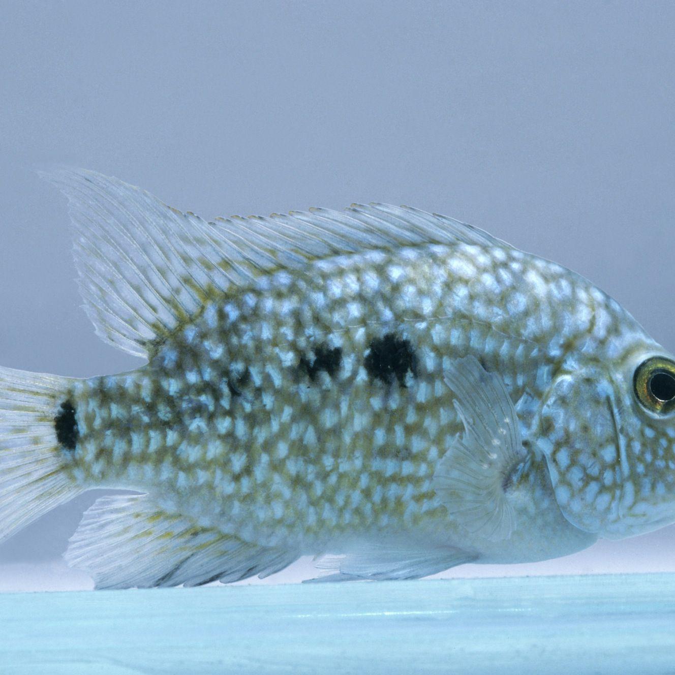 Texas Cichlid Rio Grande Perch Fish Species Profile