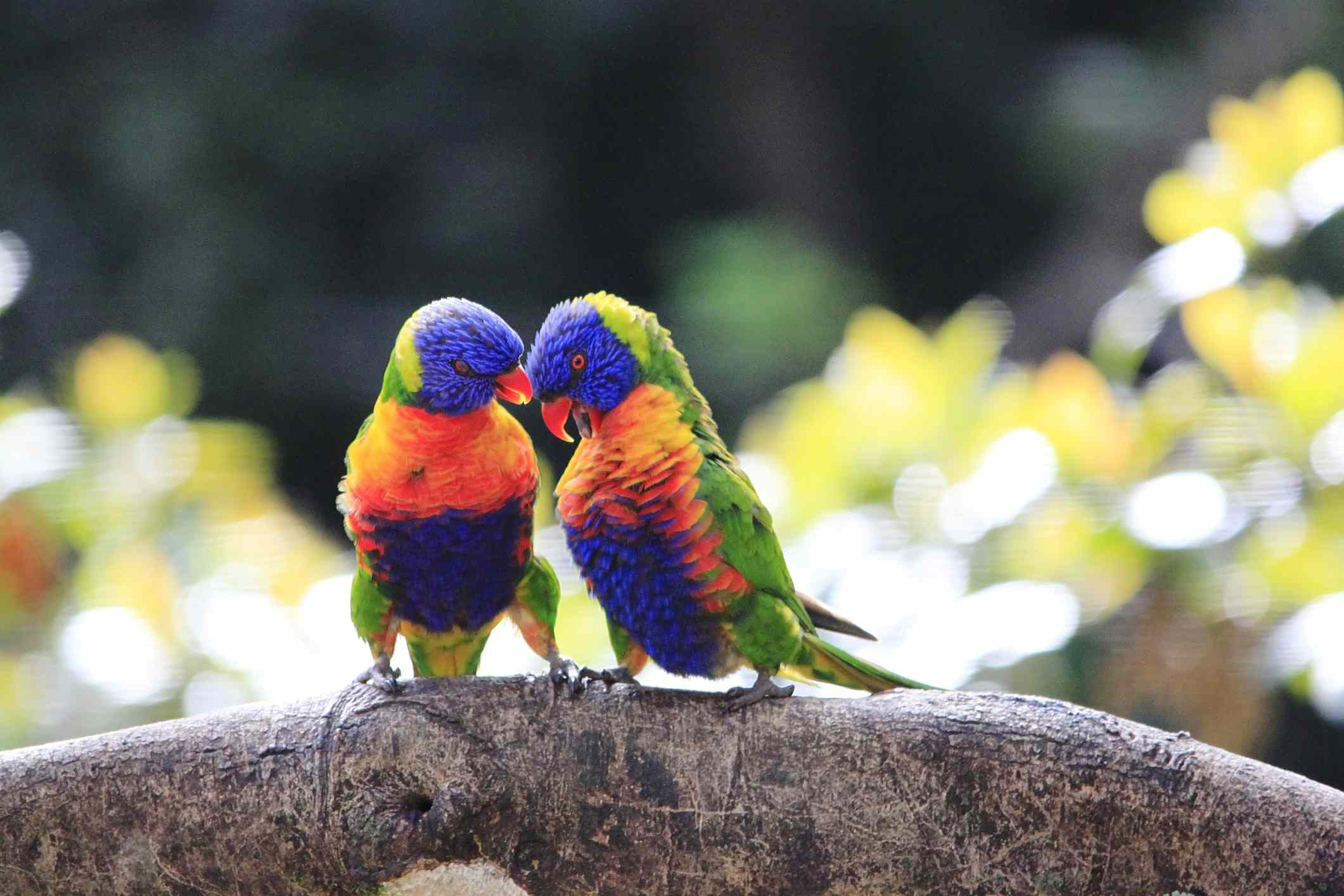 Two rainbow lorikeets on a branch