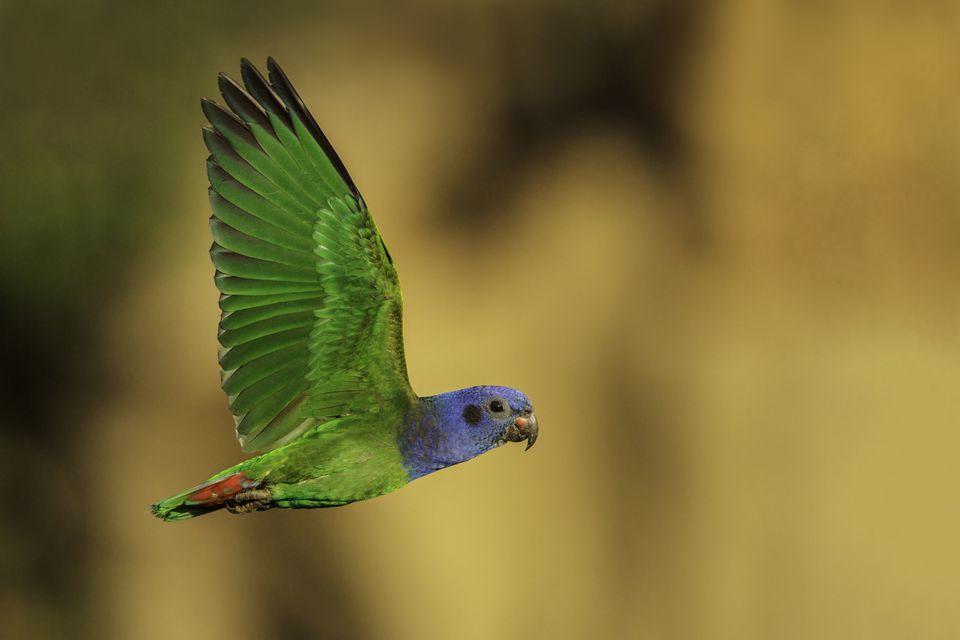 Blue-headed Parrot, Pionus menstruus, flying in Manu National Park, Peru.