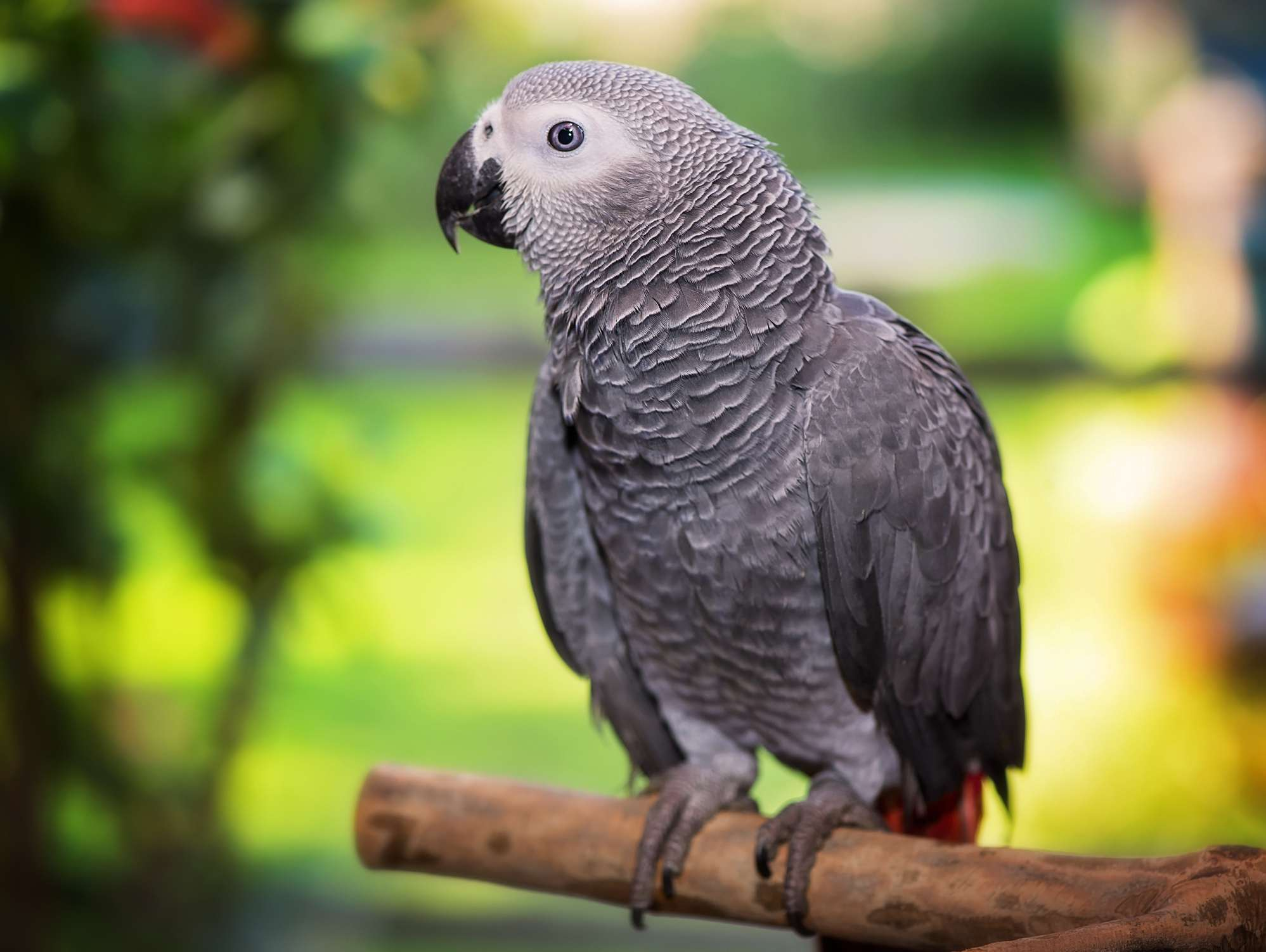African grey parrot talking parrot birds by thevetscare.com