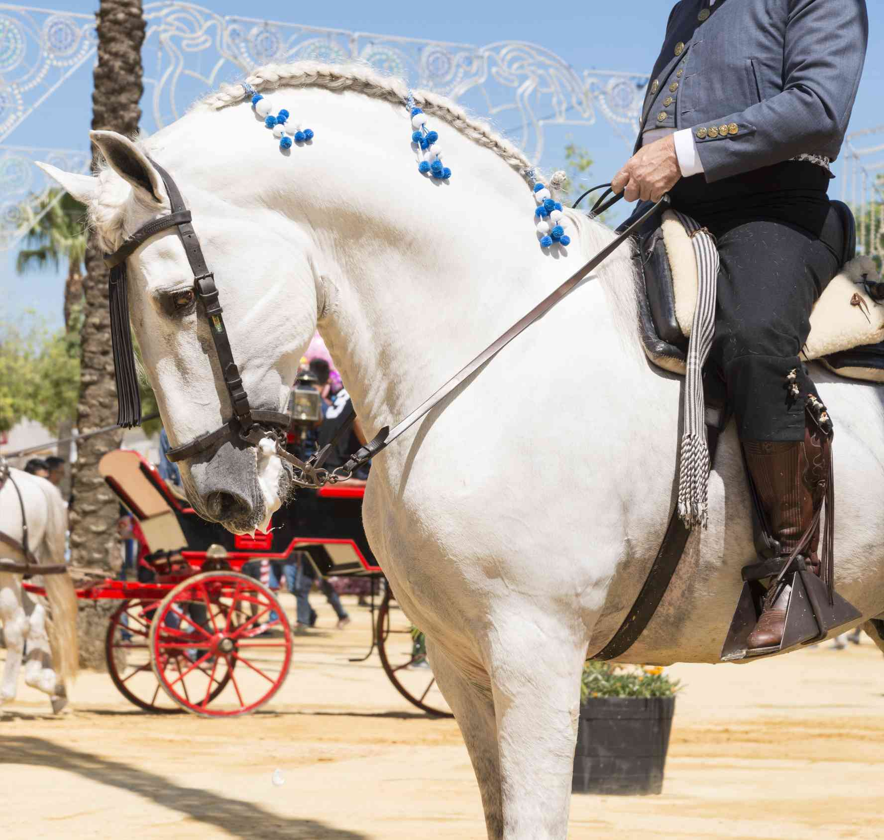 Grey Andalusian in traditional parade dress