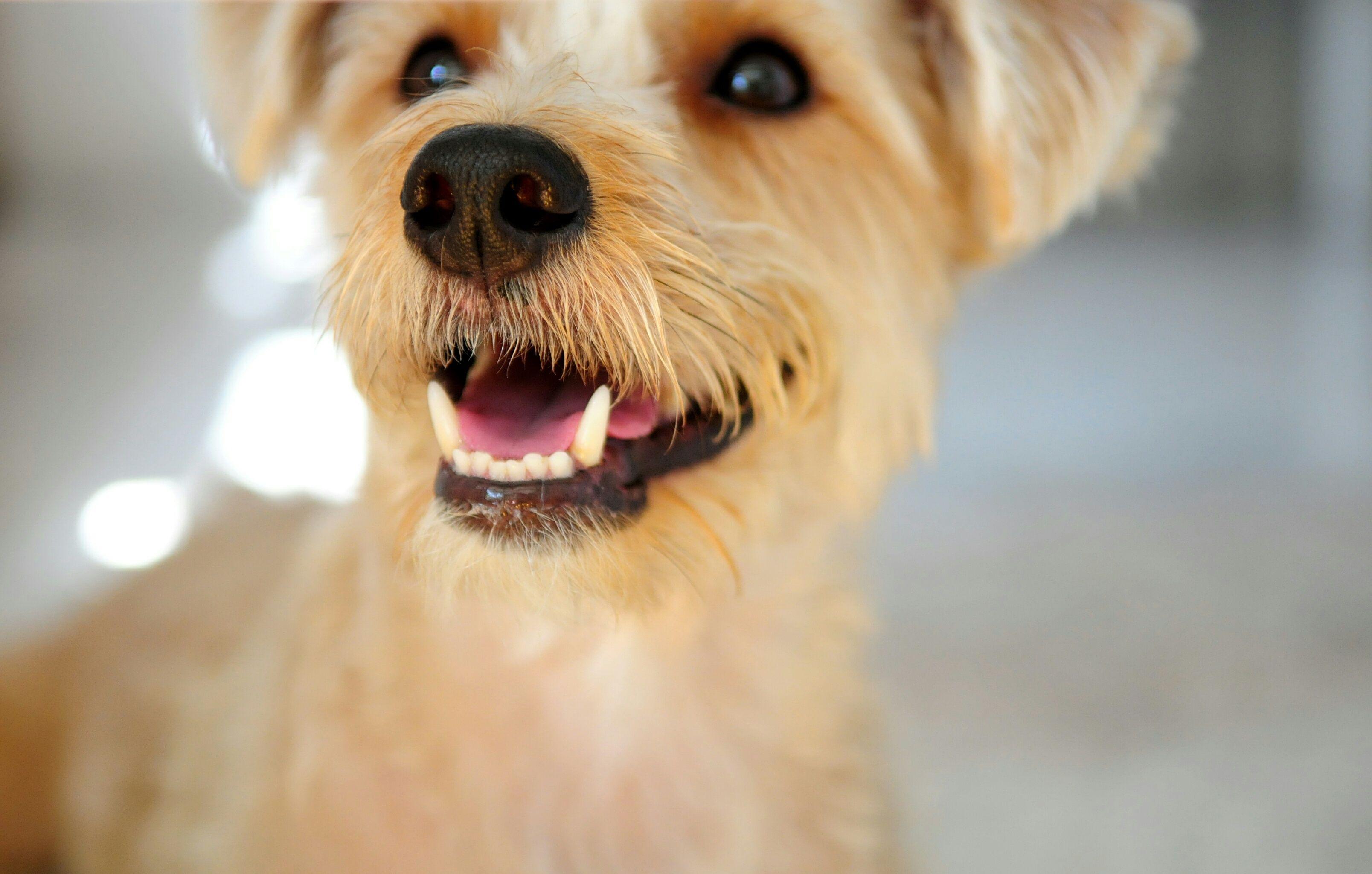 terrier-teeth-57b7513b5f9b58cdfdce82b6.jpg