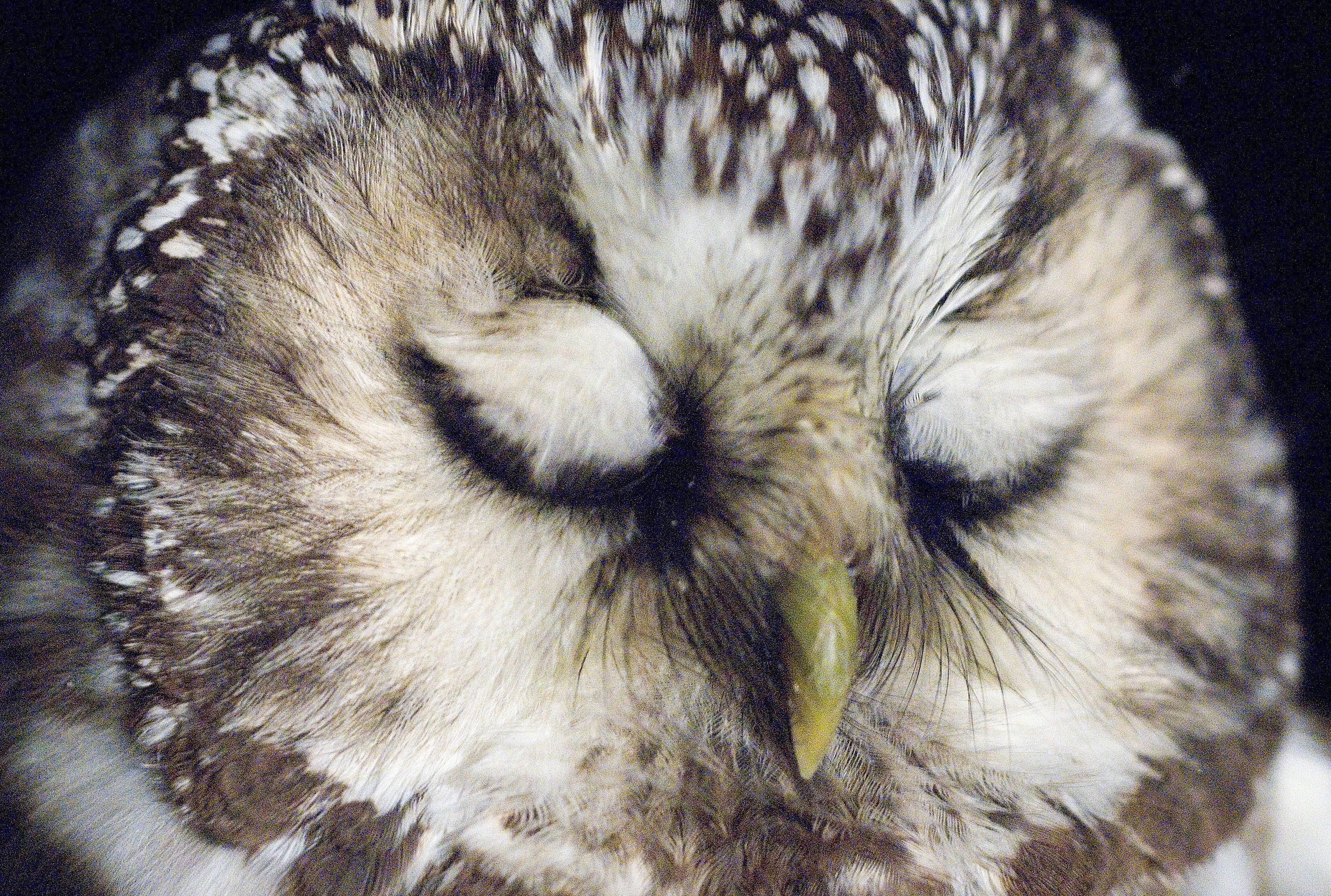 A sleepy owl