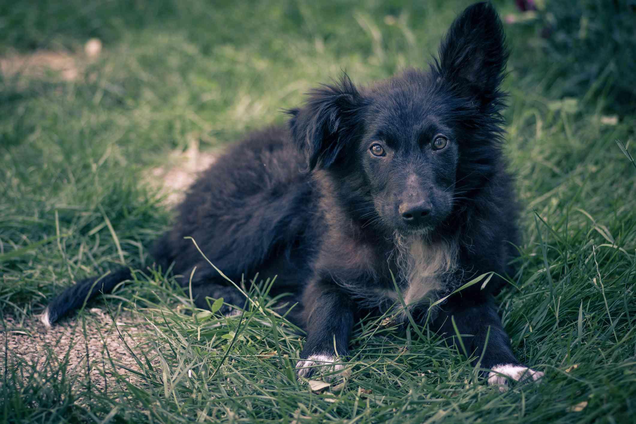 A Puppy Croatian Sheepdog lying in the grass