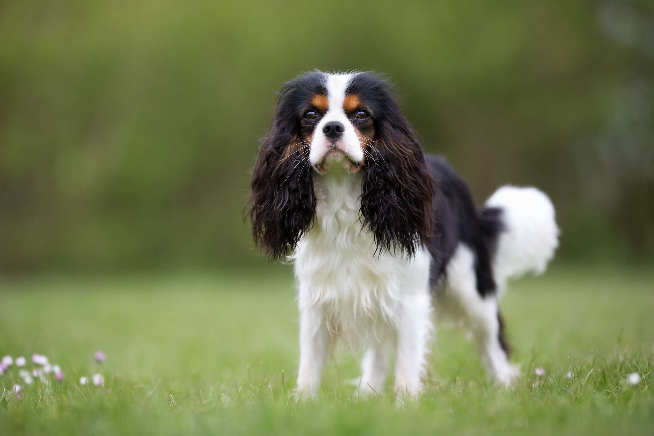 Tricolor Cavalier King Charles spaniel standing on grass
