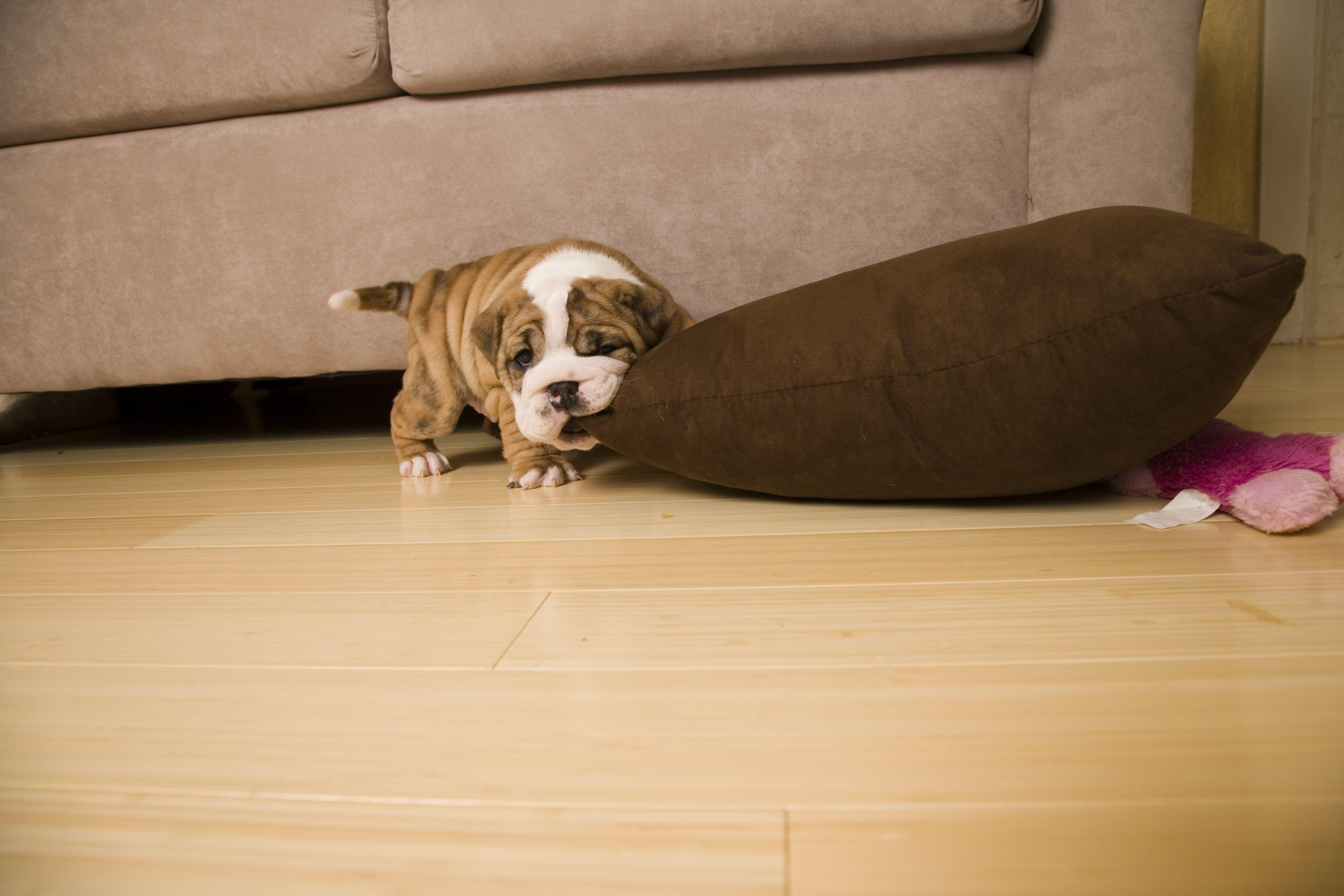 English Bulldog puppy biting pillow