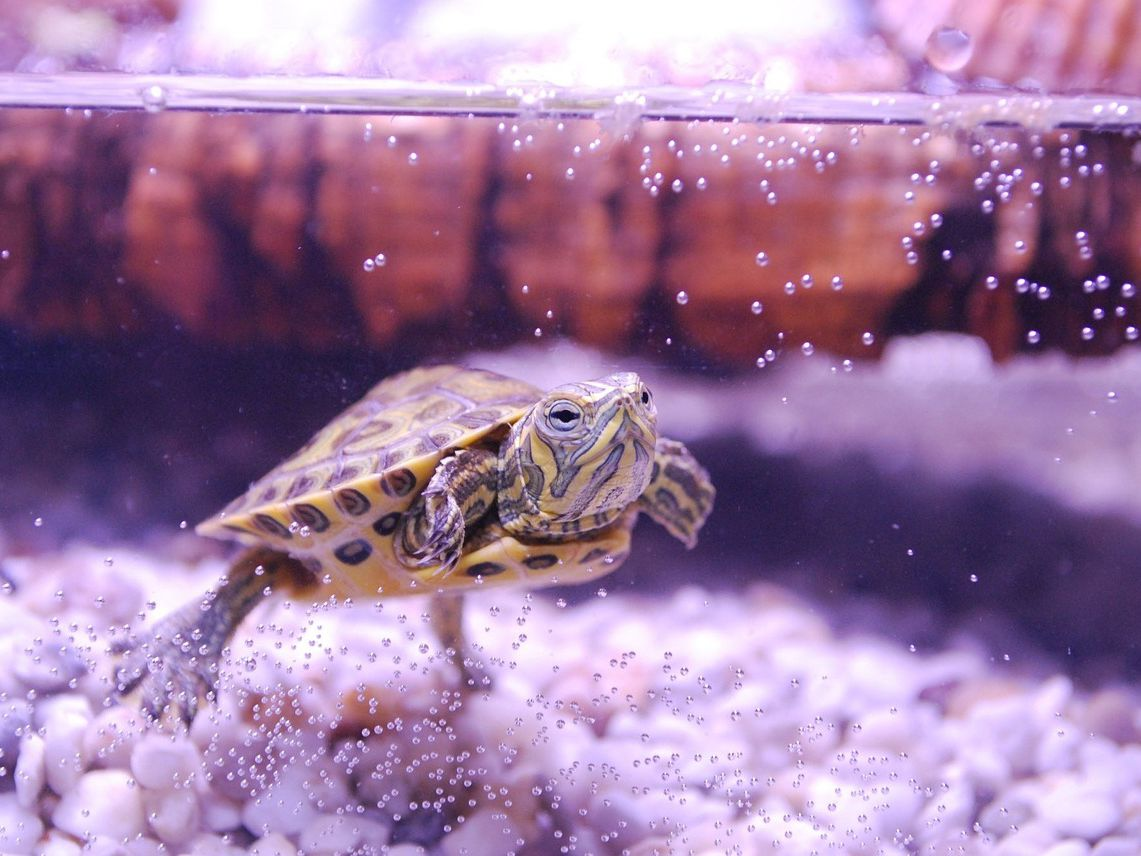 How Long Do Turtles Live