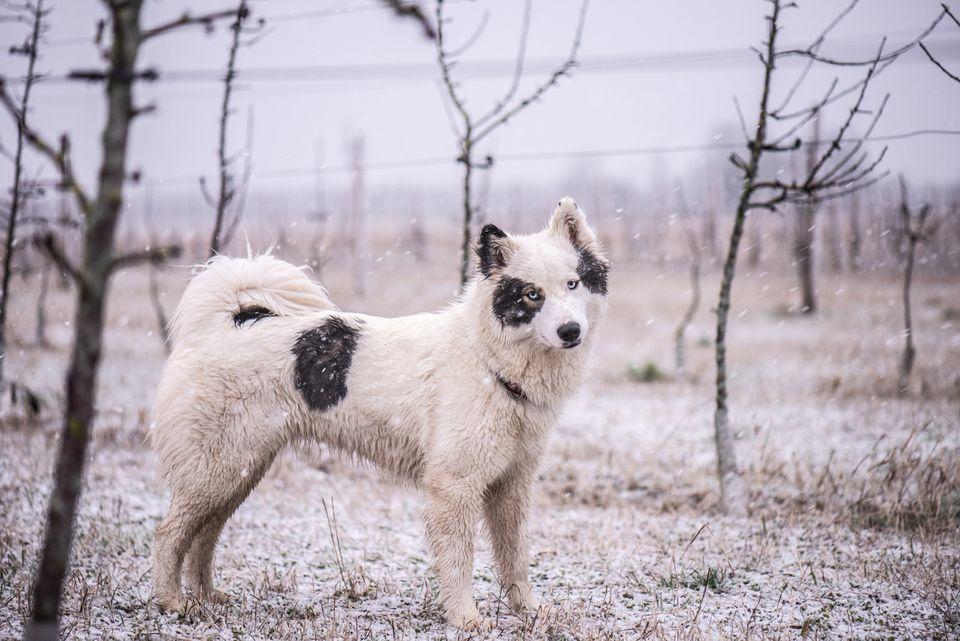Yakutian Laika