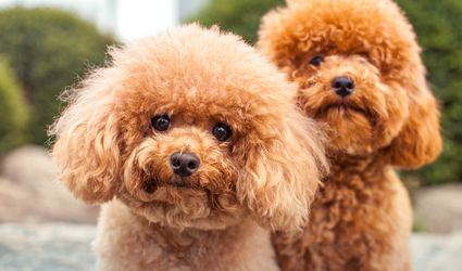 Red Miniature Poodles
