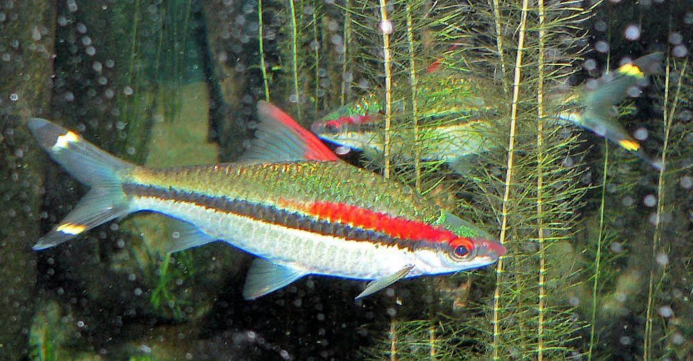 Denison Barb Fish Breed Profile