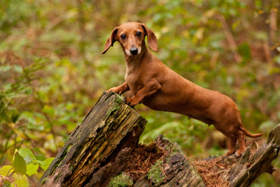 Brown miniature dachshund standing on a tree stump in a forest