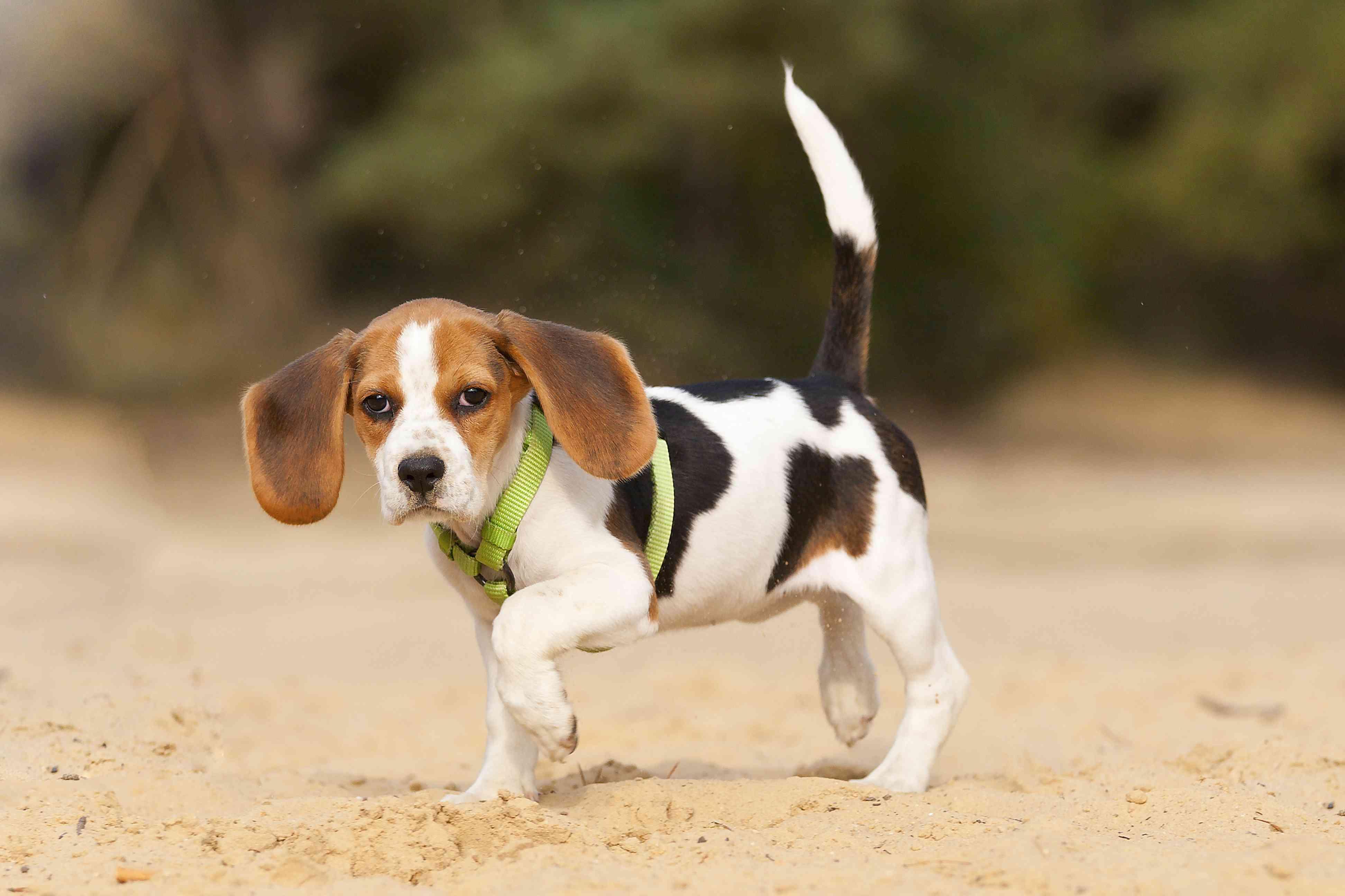 beagle puppy outside