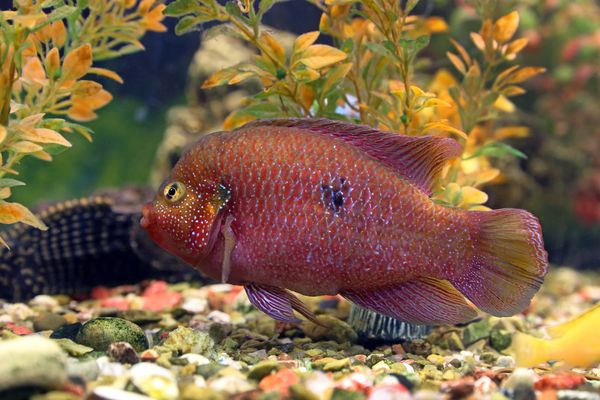 Colorful jewelfish