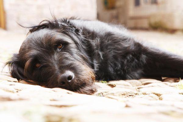 Portrait of a black dog lying in yard