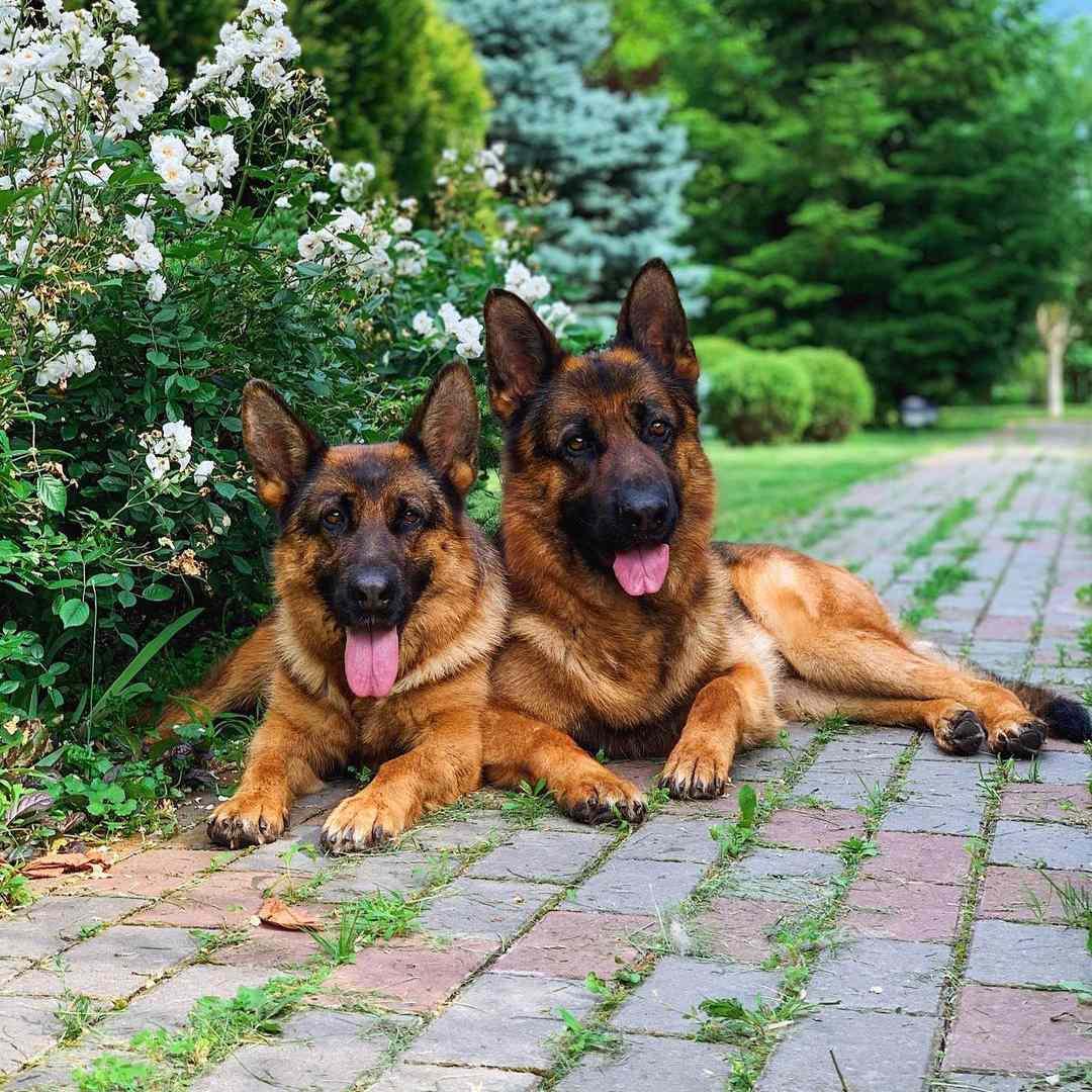 Two german shepherds laying in the garden.