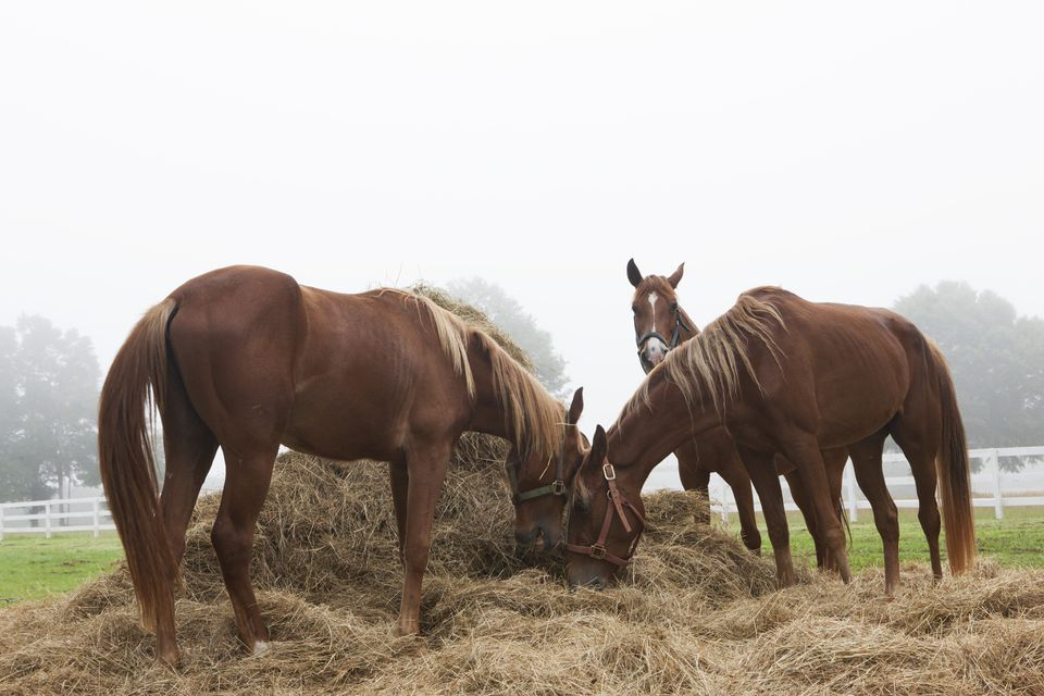 Farm horses eating hay