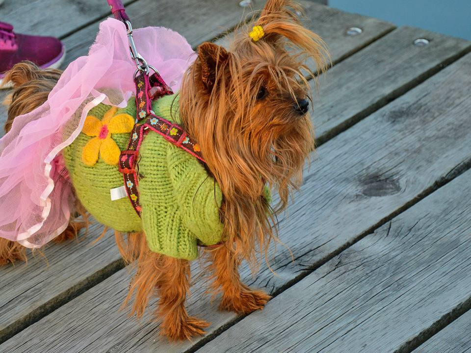 dog wearing tutu and outfit