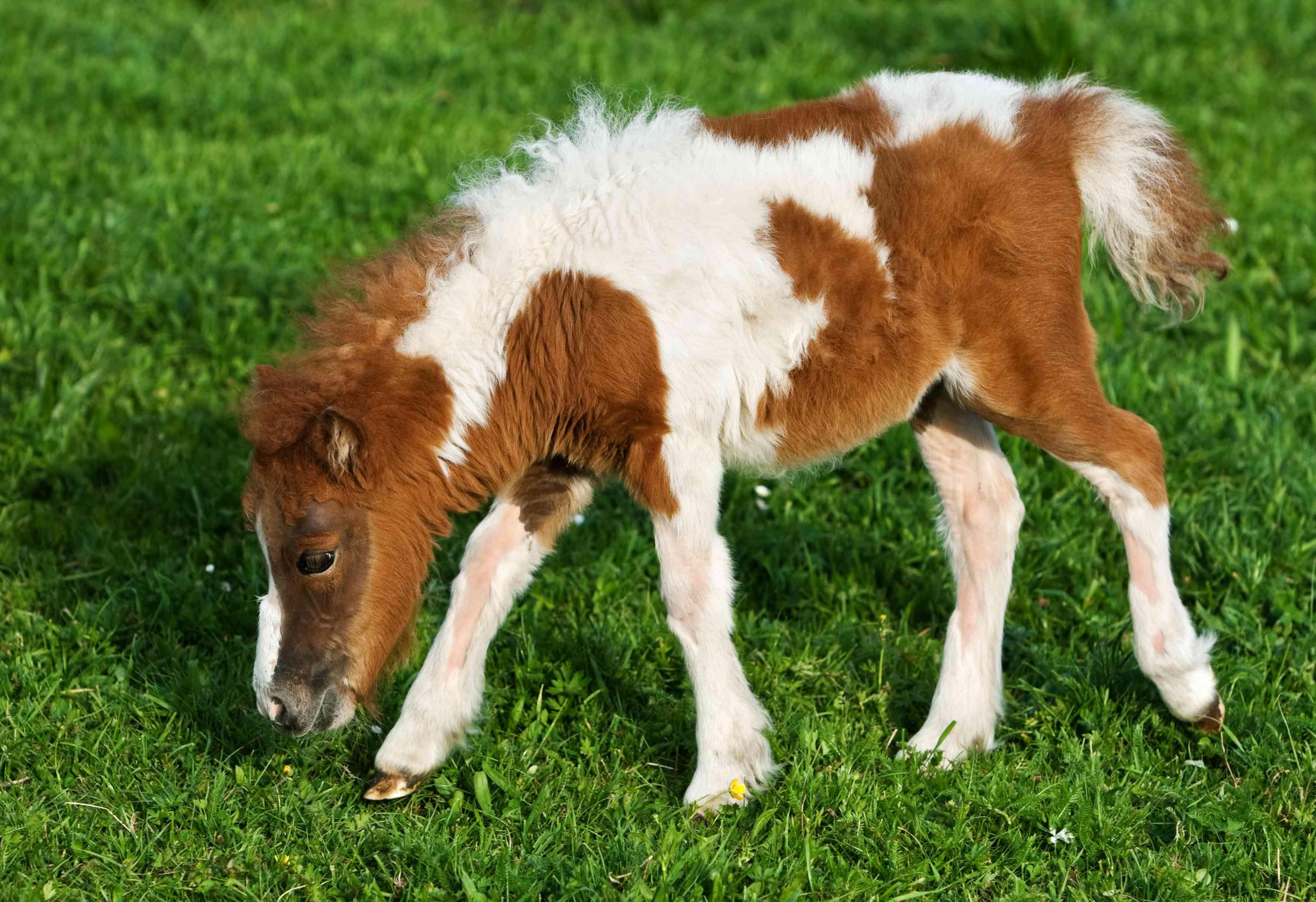 Grazing Falabella Foal