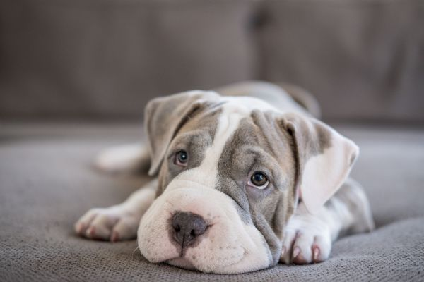 Shar-Pei Pitbull Puppy Laying on Couch