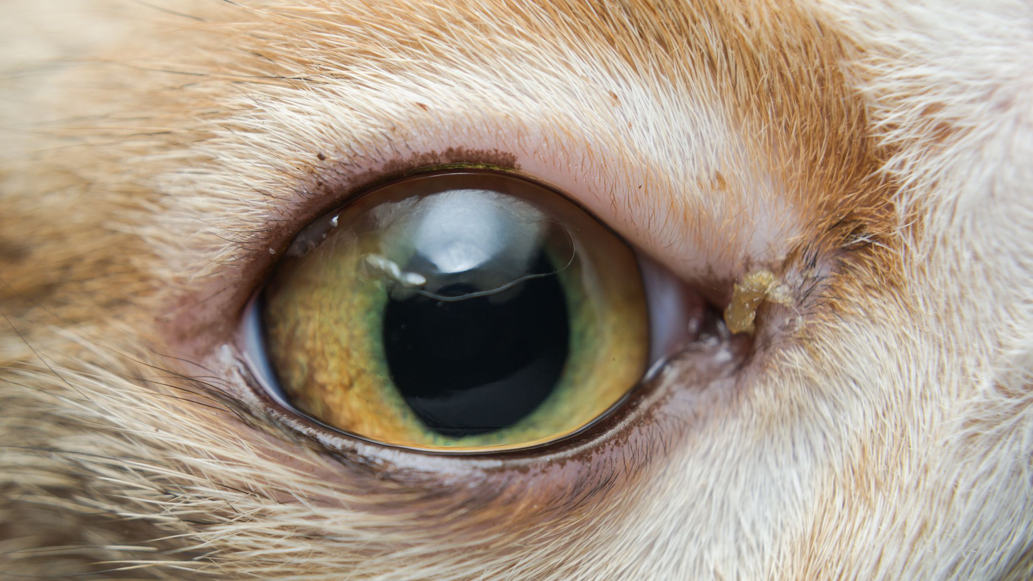How To Treat Conjunctivitis In Cats