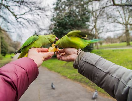 Feeding green parrots in a park