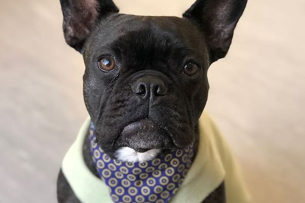 A black French bulldog looking into the camera.