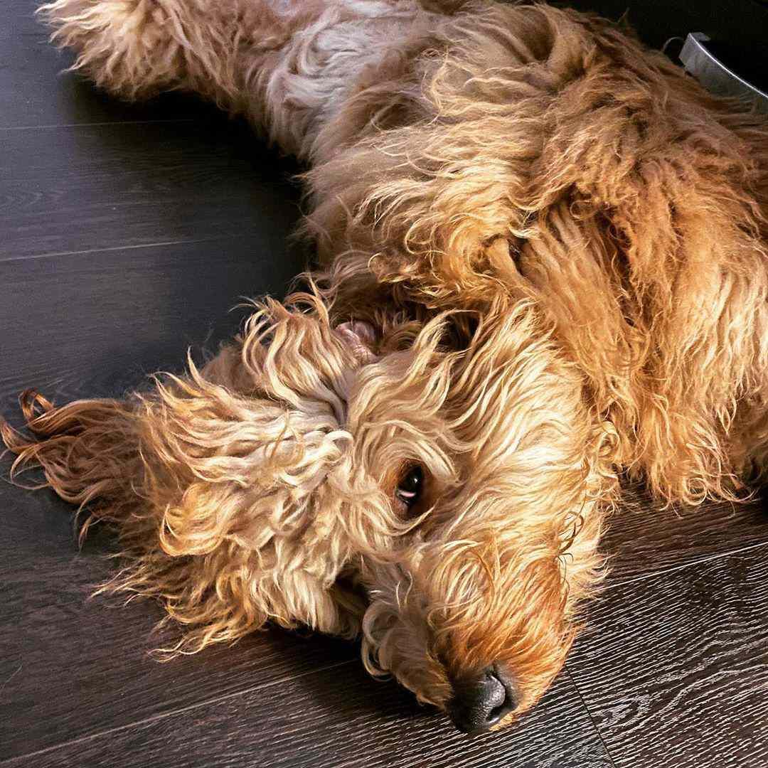 Picture of goldendoodle dog; Brodiethatdood Instagram