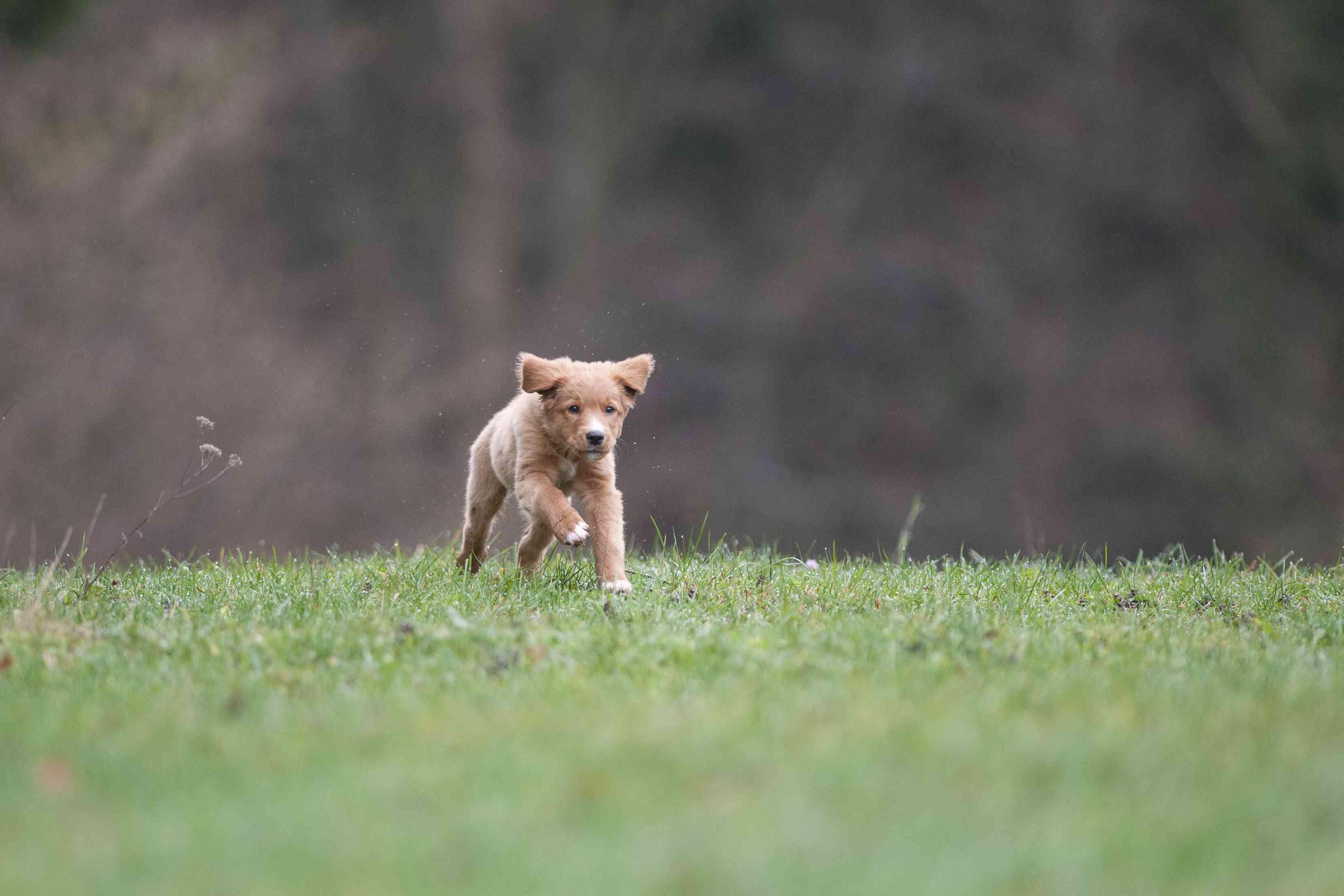 Toller puppy running in grass.