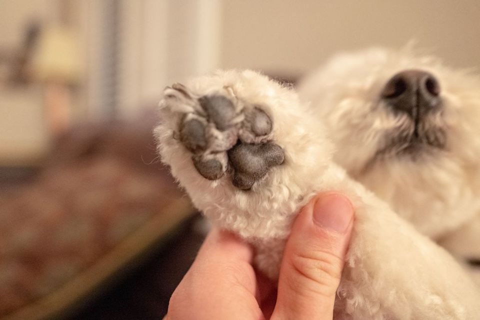 Close up of the underside of a Bichon Frise's paw.