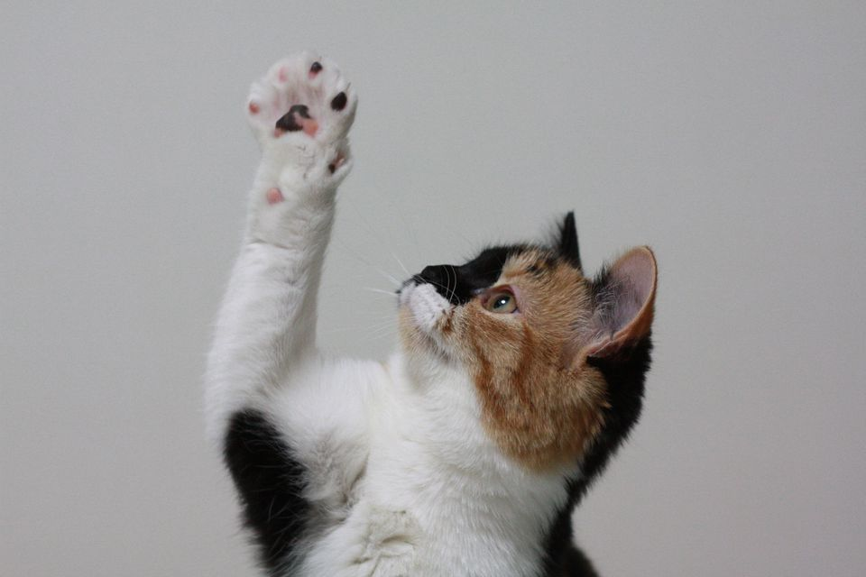 A cat reaching up with their paw