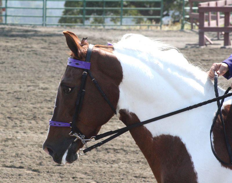 Spotted Saddle Horse: Breed Profile