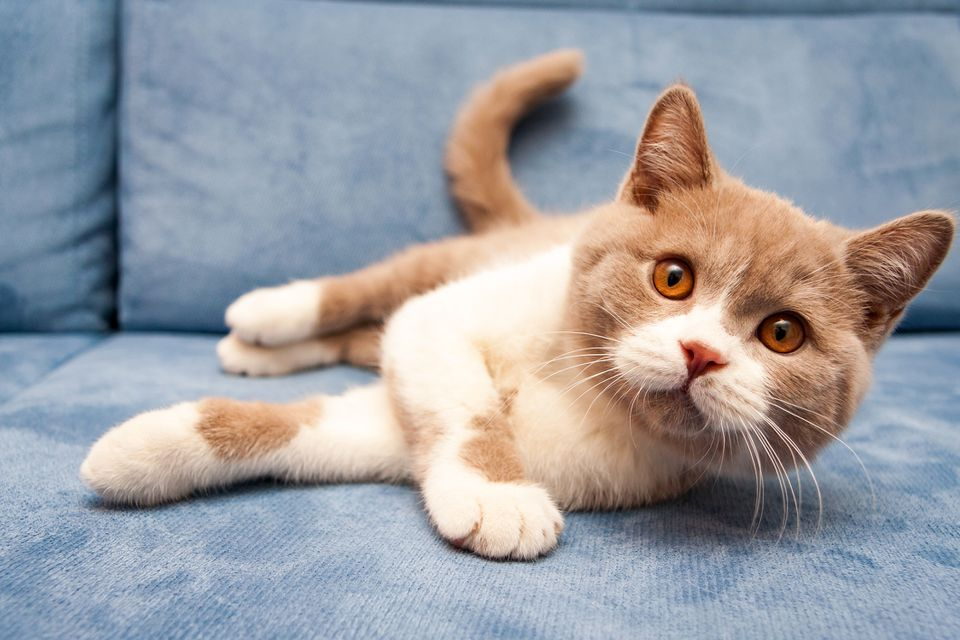 Naranja British Shorthair cat tumbado en el sofá