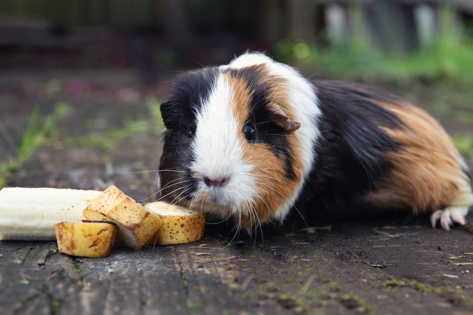 Black, brown and white guinea pig eating banana slices outside