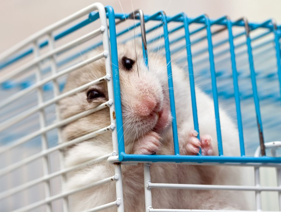 Hamster chewing on metal cage bar