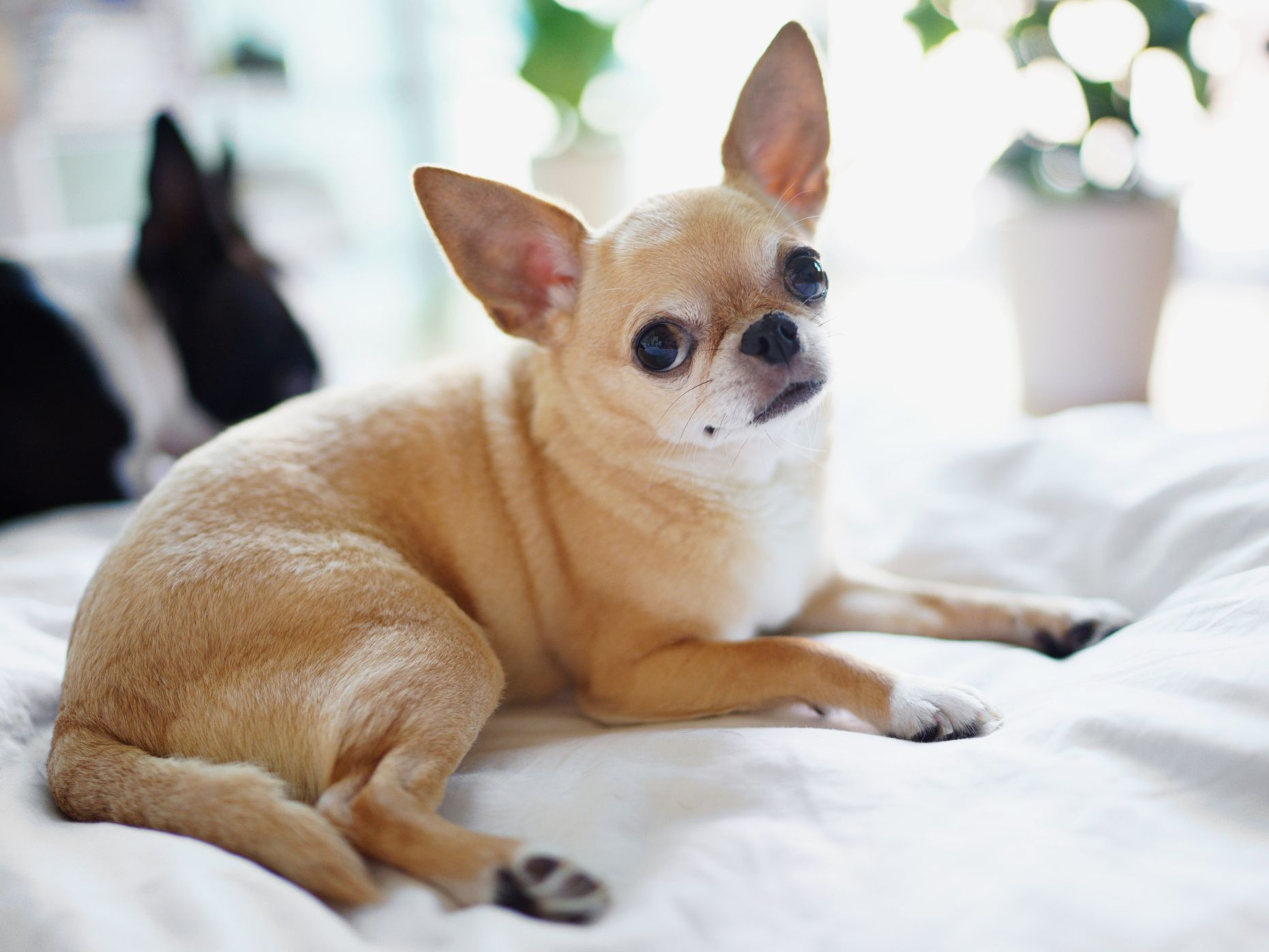 Chihuahua - Full Profile, History, and Care
