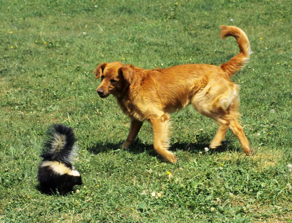 A doggie-skunk run-in