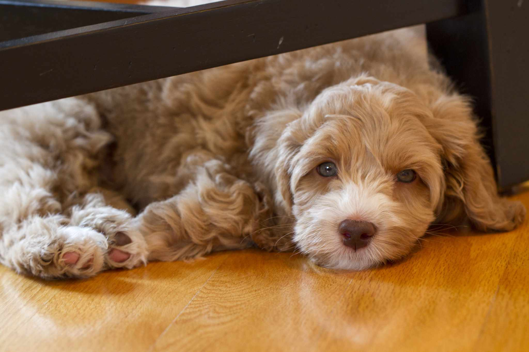 An Australian labradoodle puppy lounging.