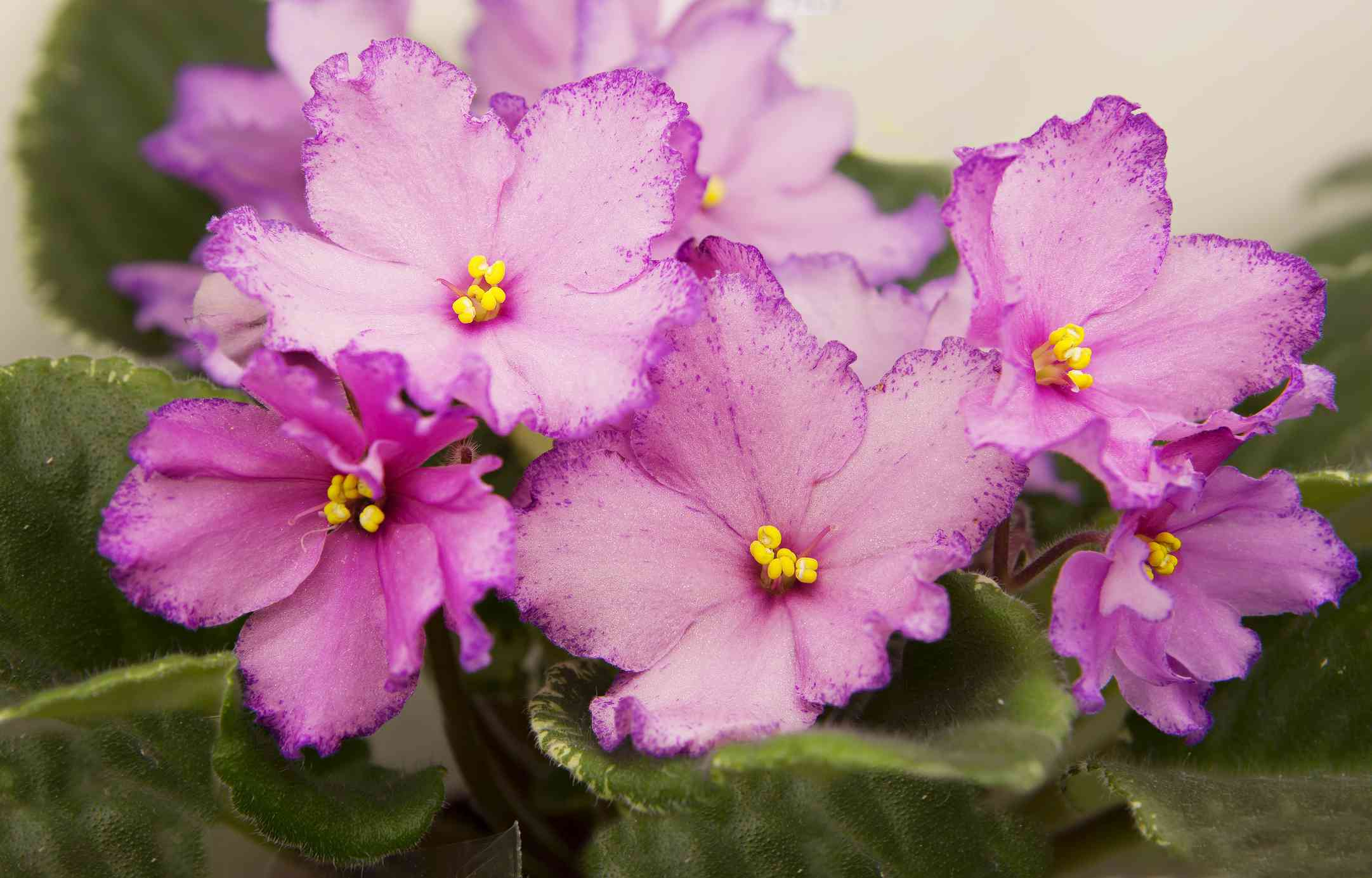 bright pink african violet flowers surrounded by green leaves