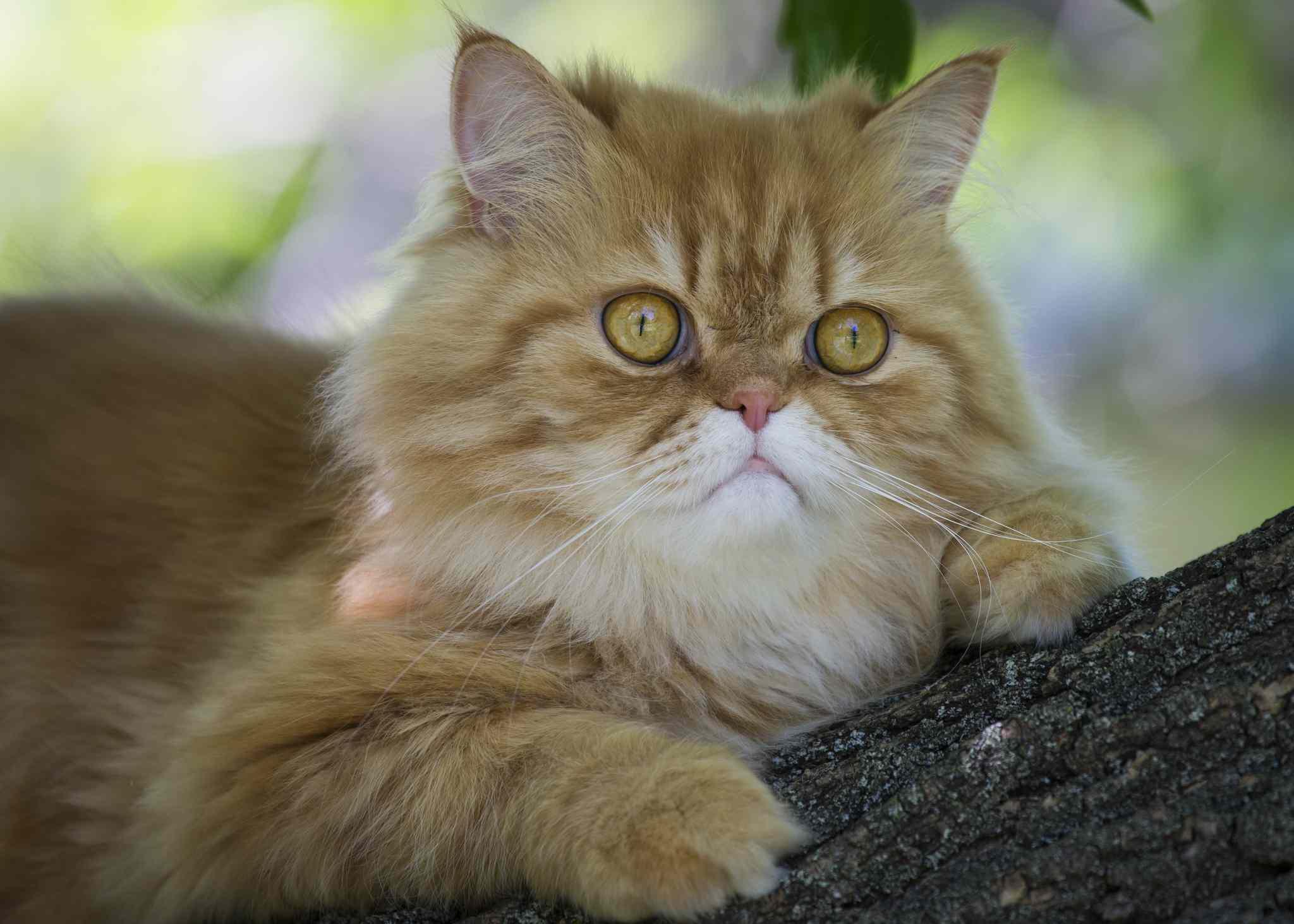 Gato persa Tabby naranja en árbol
