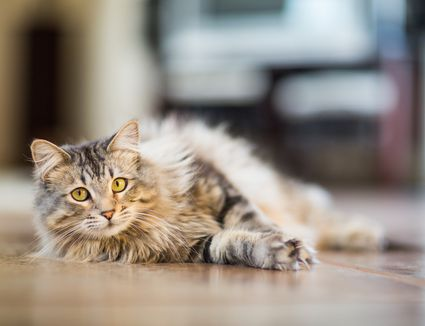 cat laying down on floor