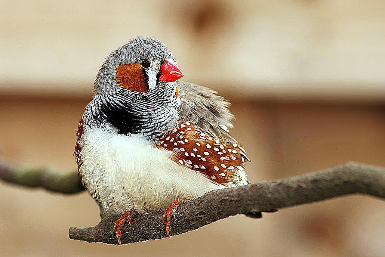 zebra finch on a branch