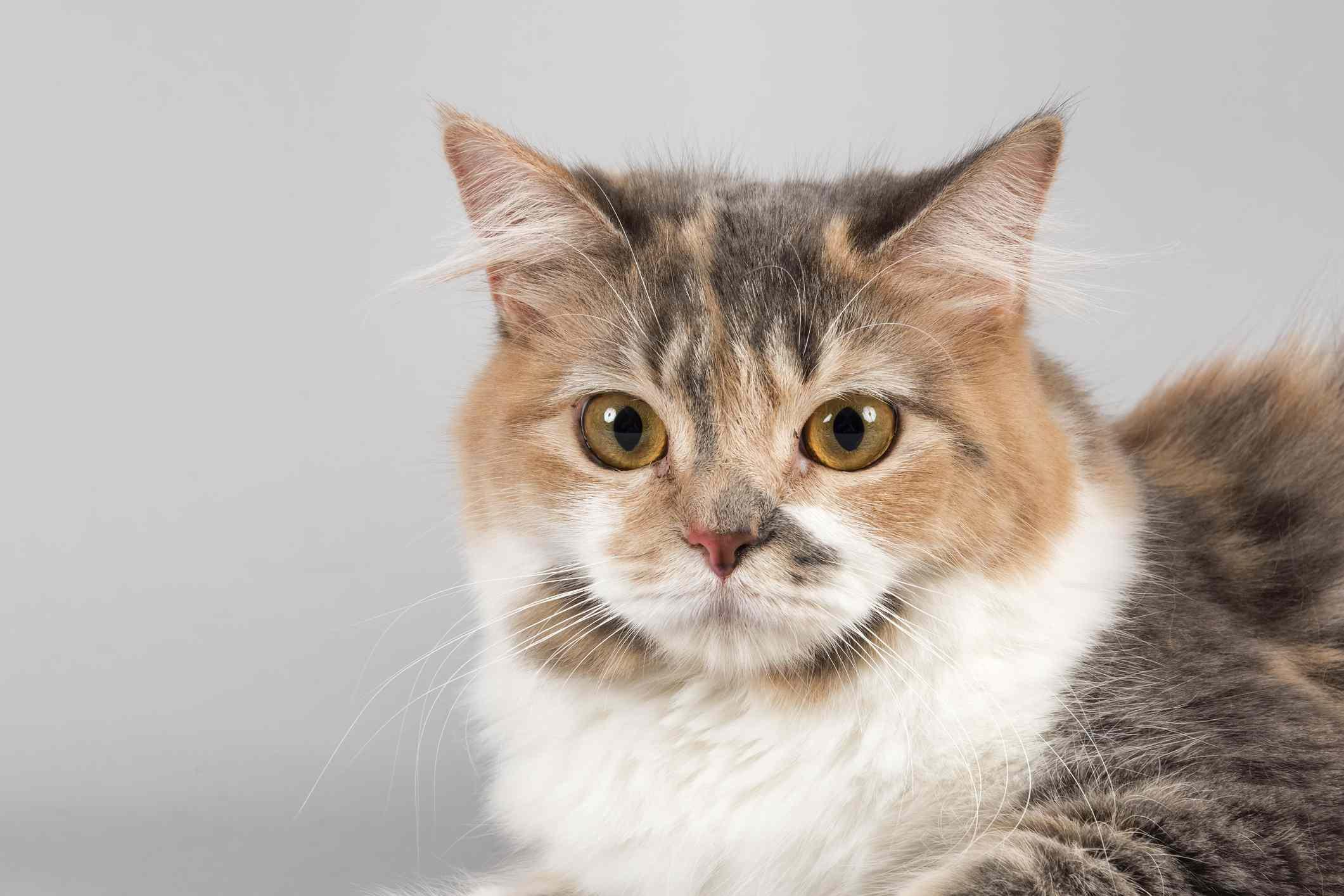 Manx Cat Facts in Plain Language  |Manx Cat History