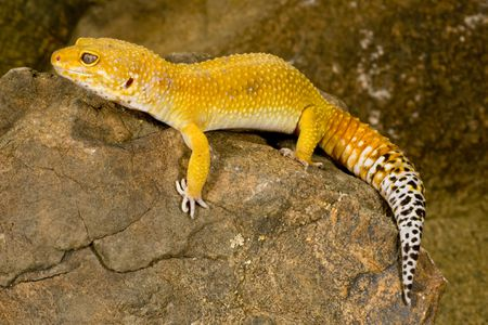 Halloween Mask Leopard Gecko.The Different Colors Of Leopard Geckos