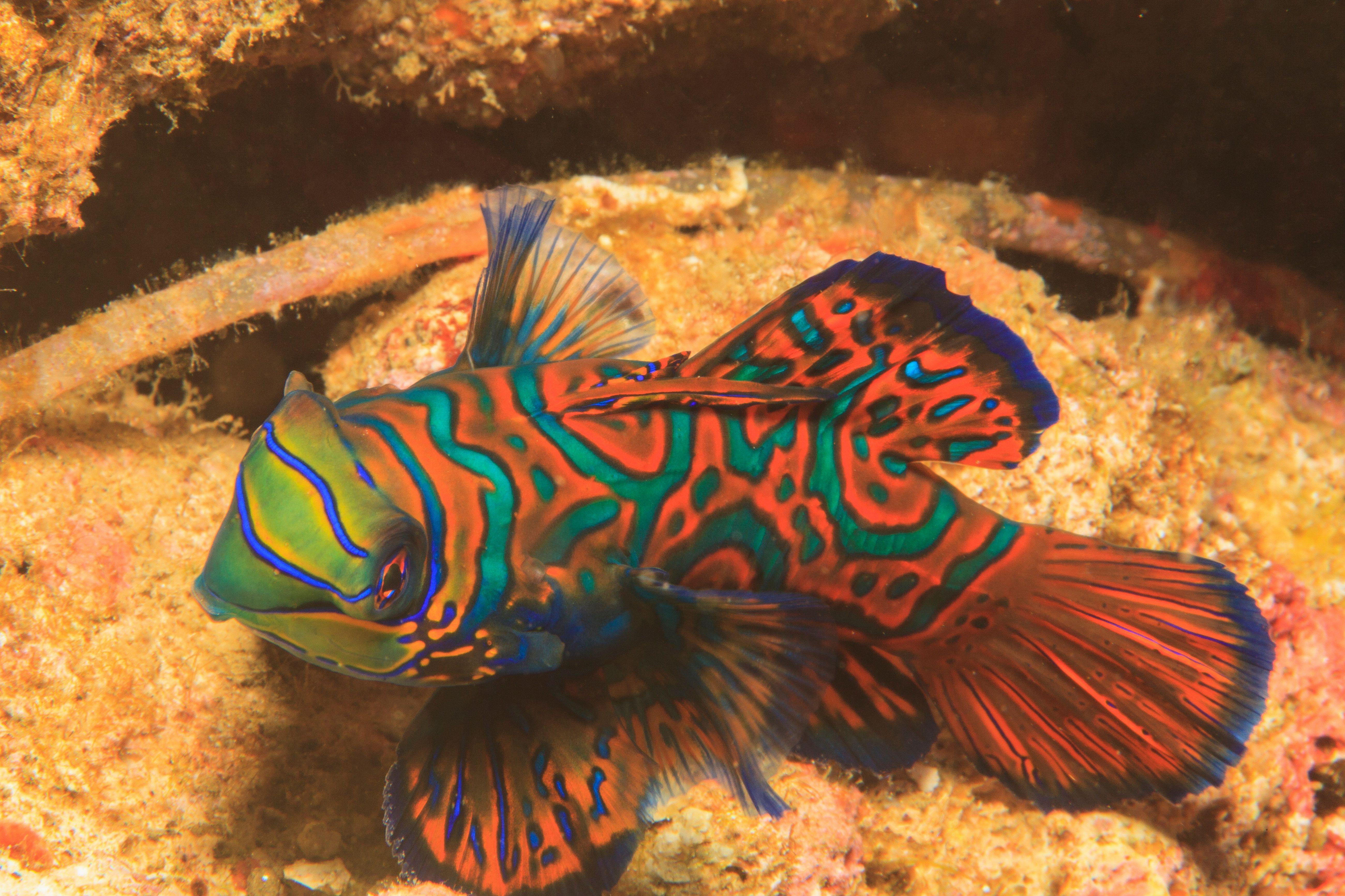 Mandarinfish swimming in coral reef
